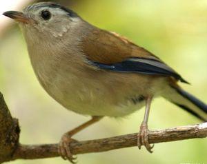 Minla à ailes bleues