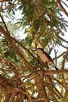 Brubru africain