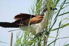 Coucal des papyrus