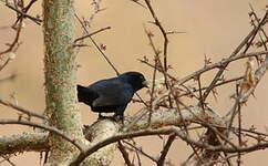 Gobemouche sud-africain