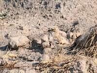 OEdicnème vermiculé