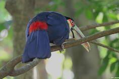 Toucan à ventre rouge