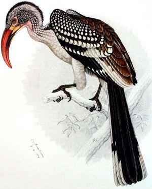Calao d'Afrique du Sud