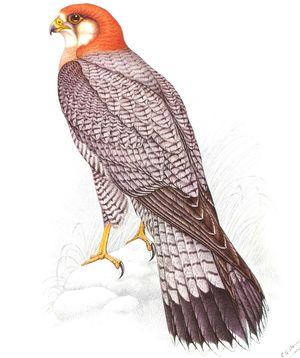 Faucon chicquera