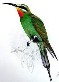 Guêpier de Perse
