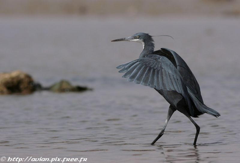 Western Reef Heron adult breeding