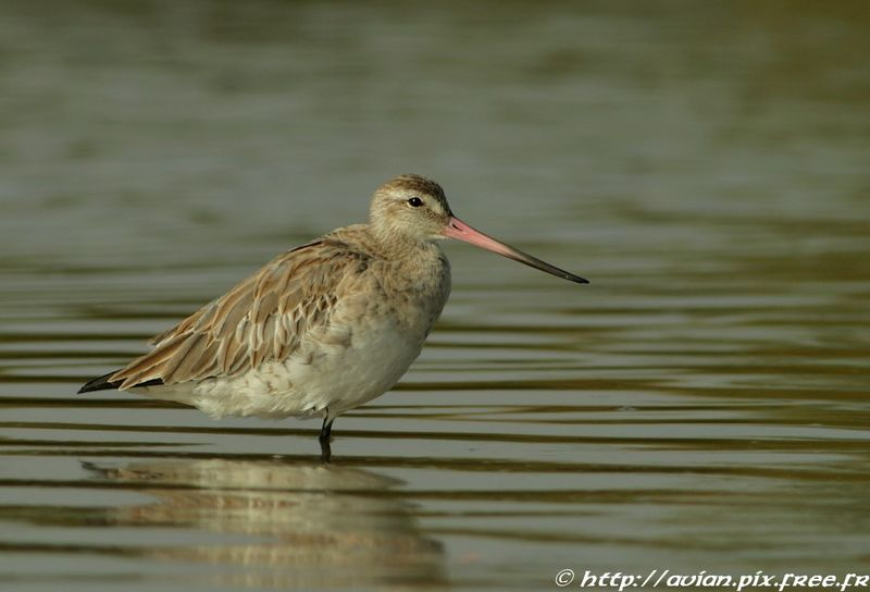 Bar-tailed Godwit adult post breeding