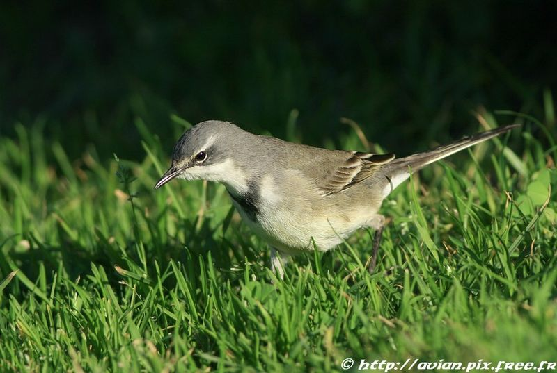 Cape Wagtail adult post breeding