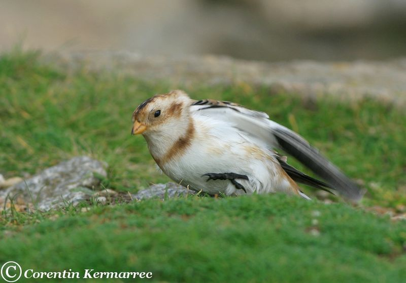 Snow Bunting male adult post breeding