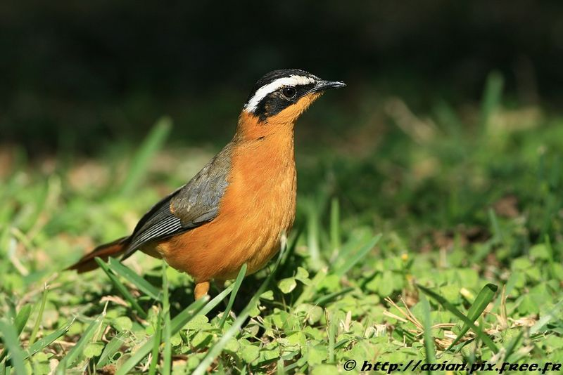 White-browed Robin-Chat adult