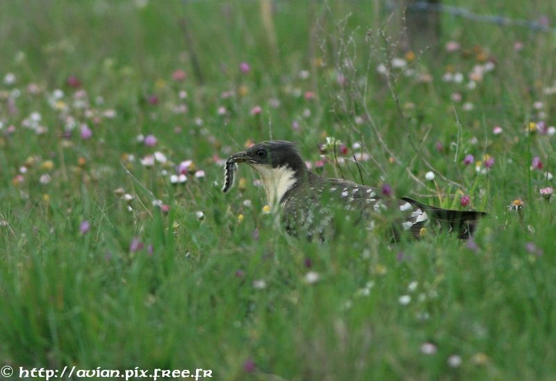 Great Spotted Cuckoo adult breeding