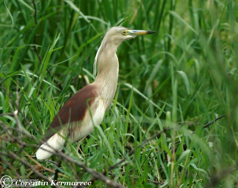 Indian Pond Heron adult breeding