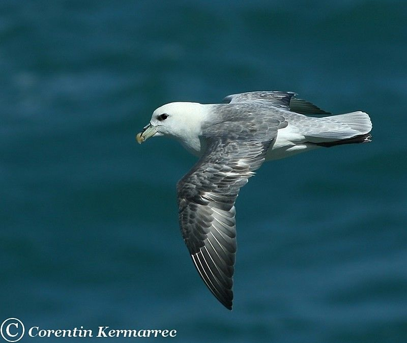 Northern Fulmar immature