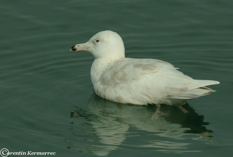 Glaucous Gull Second year