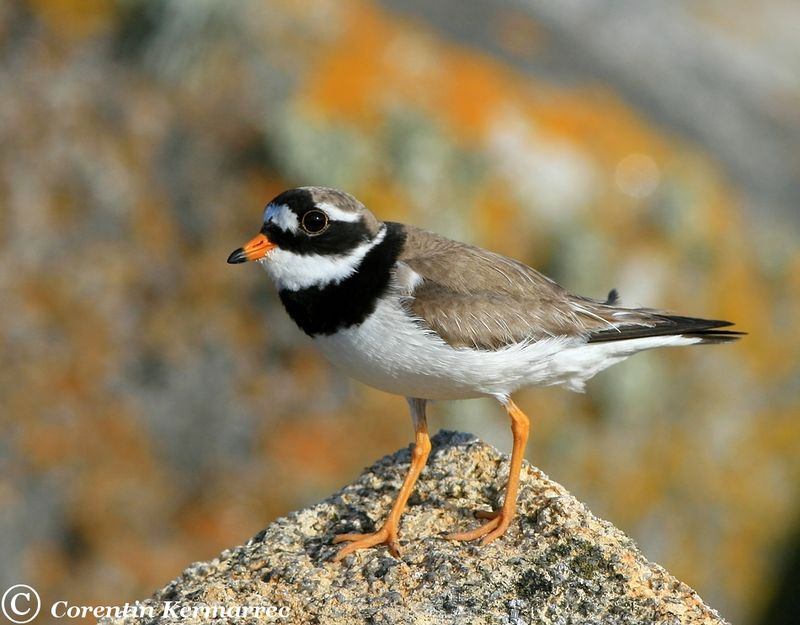 Common Ringed Plover adult breeding