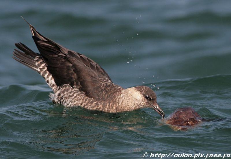 un oiseau à découvrir -ajonc- 5 août trouvé par Martin et Martine  Labbe.pomarin.coke.4g