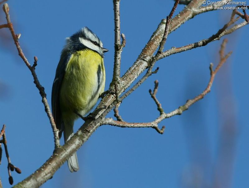 Eurasian Blue Tit adult breeding