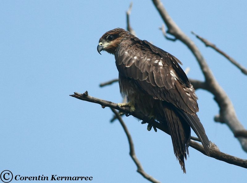 Black Kite adult breeding