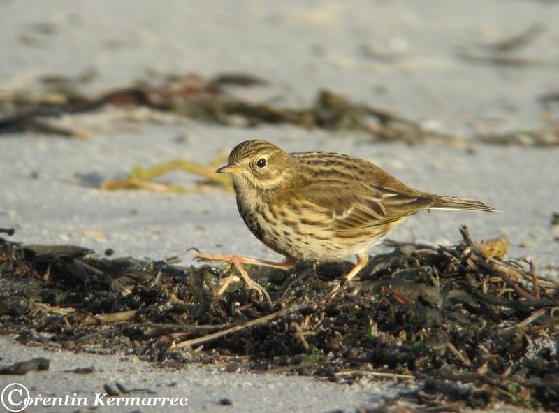 Meadow Pipit adult