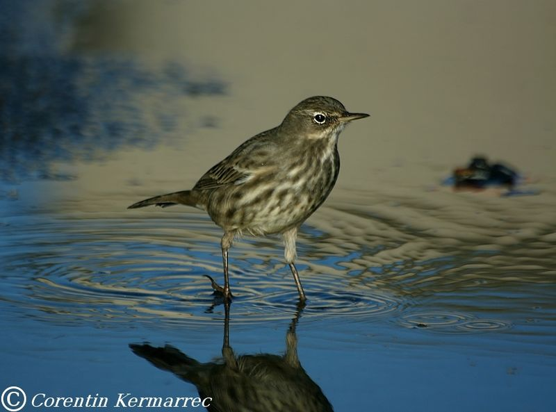 Eurasian Rock Pipit adult post breeding