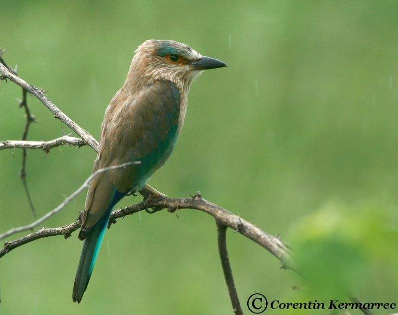 Indian Roller adult breeding