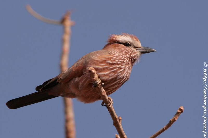 Purple Roller immature