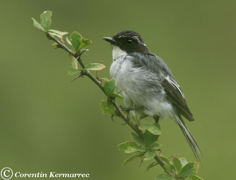 Grey Bush Chat male adult breeding