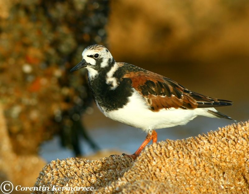 Ruddy Turnstone adult breeding