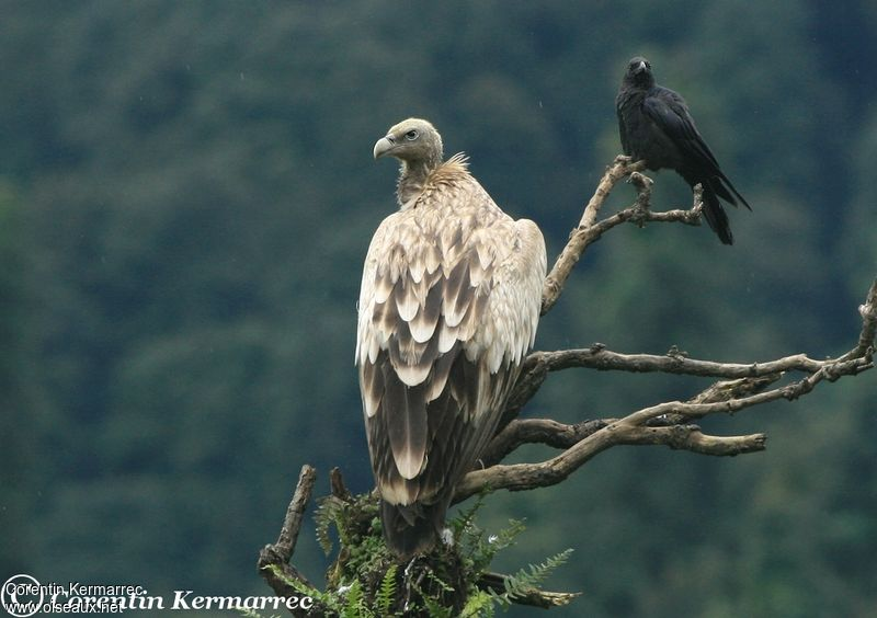 Himalayan Vulture adult breeding