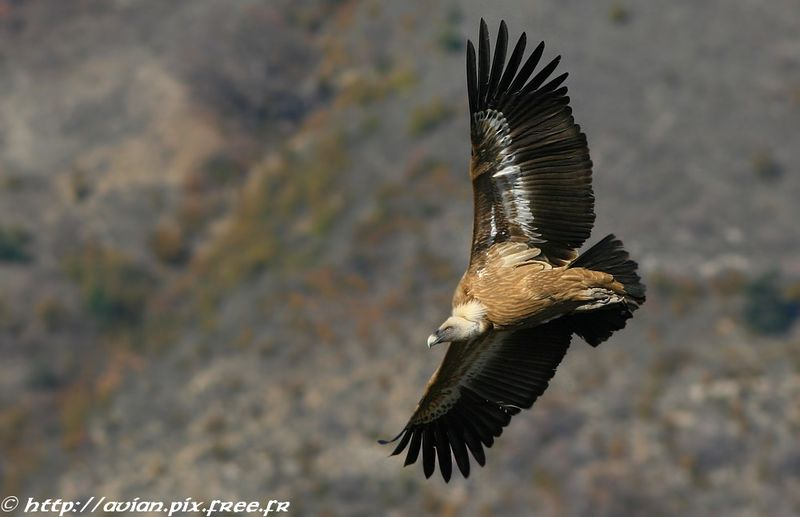 Griffon Vulture adult breeding