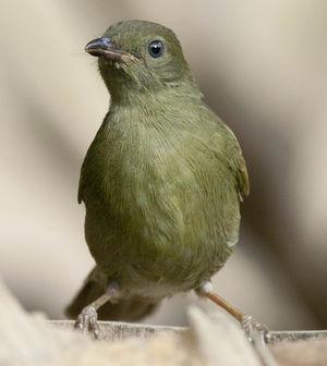 Bulbul verdâtre