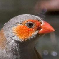 Astrild à joues orange