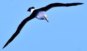Albatros à tête grise