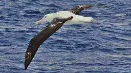 Albatros royal