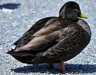 Canard noir