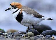 Gravelot des Falkland