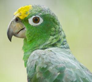 Amazone à front jaune