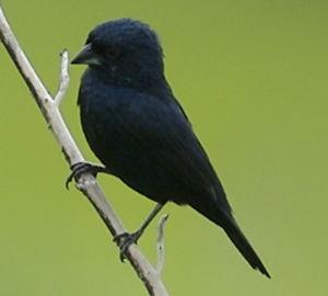 Jacarini noir