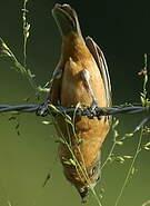 Sporophile petit-louis