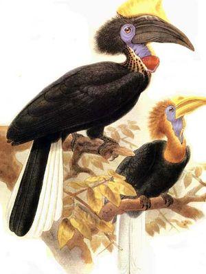 موسوعة شاملة عن طيور البوقير Calao.a.casque.jaune.dage.0p
