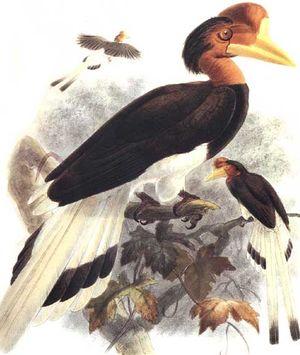 موسوعة شاملة عن طائر البوقير و أنواعه الجزء 3 Calao.a.casque.rond.dage.0p