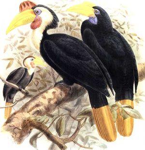 موسوعة شاملة عن طيور البوقير Calao.a.casque.rouge.dage.0p