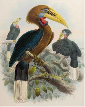 موسوعة شاملة عن طيور البوقير Calao.a.cou.roux.dage.0p