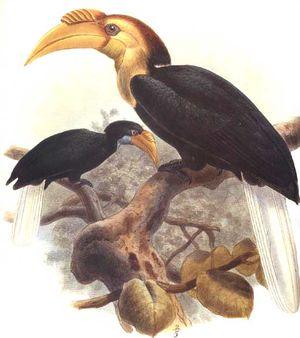 موسوعة شاملة عن طيور البوقير Calao.a.gorge.claire.dage.0p