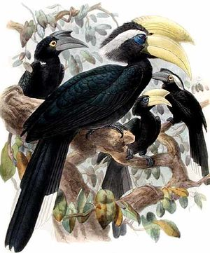 موسوعة شاملة عن طيور البوقير Calao.charbonnier.dage.0p
