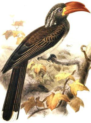 موسوعة شاملة عن طيور البوقير Calao.couronne.dage.0p