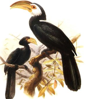 موسوعة شاملة عن طائر البوقير و أنواعه الجزء 1 Calao.des.celebes.dage.0p