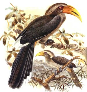 موسوعة شاملة عن طائر البوقير و أنواعه الجزء 1 Calao.gris.dage.0p