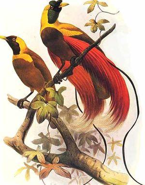Paradisier rouge