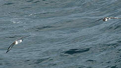 Océanite à ventre blanc